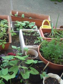 定植待ちの苗たち